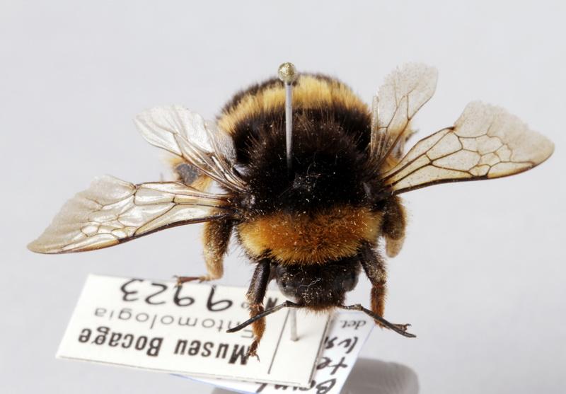 Árbol de tochi caravana Mirar  Buff tailed bumblebee of the species Bombus terrestris of the MNHNC  Entomologia collection   Europeana